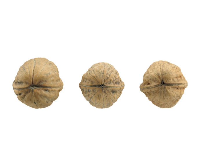 side view rendering of three walnut 3d models