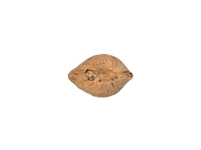 bottom view rendering of an almond in shell 3d model