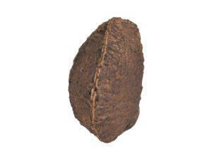 Brazil Nut in Shell #1